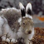 Зайцы перестали менять цвет из-за потепления