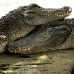 Ученые нашли новое различие между крокодилами и аллигаторами