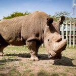 Скончался последний северный белый носорог