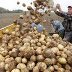 Россия пригрозила ввести ограничения на поставку белорусского картофеля