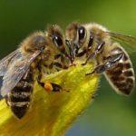 Пчела, родившаяся без матери