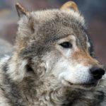 У волка, напавшего на жителей Приамурья, выявили бешенство